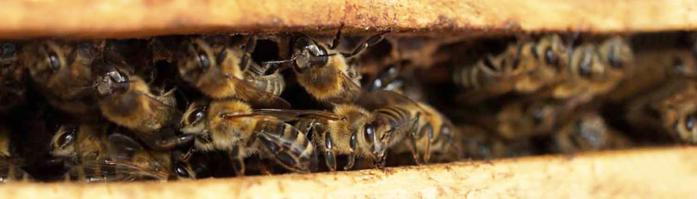 honingbijen-in-vliegopening